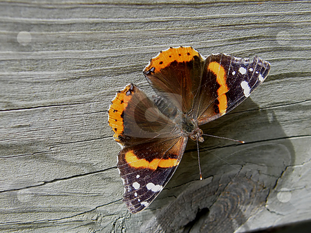 Red Admiral Butterfly stock photo, Red Admiral Butterfly resting on the side of a wooden fence. The Red Admiral is native to Europe, Asia and North America. I found this one in Sylvania Ohio as I entered Harroun Park. by Dazz Lee Photography