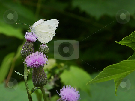 White Butterfly on Purple Thistle stock photo, White Butterfly on Purple Thistle. This butterfly is a Pieris Rapea, also known as a cabbage butterfly or the cabbage white butterly. by Dazz Lee Photography