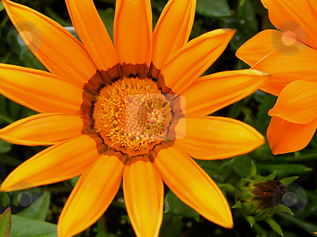 Vibrant Orange Flower stock photo, Vibrant Orange Flower, I think this is a type of orange daisie. by Dazz Lee Photography