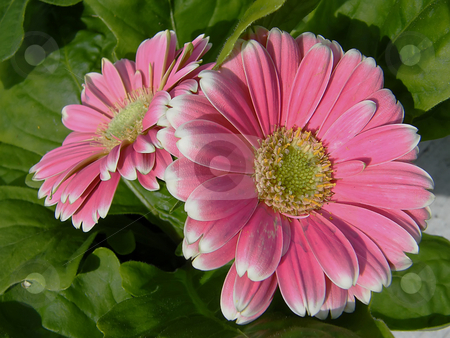 Pink Gerber Daisies stock photo, Pink Gerber Daisies, also known as Gerbera daisies by Dazz Lee Photography