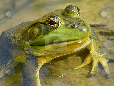 Bullfrog Close Up  stock photo, Bullfrog Close Up. This is a North American Bullfrog I found in one of the ponds at a cemetery I frequent. by Dazz Lee Photography