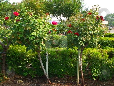 Rose Flowers stock photo,  by Michael Felix