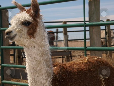 Brown  stock photo, Color image of a brown and white alpaca. by Michael Rice
