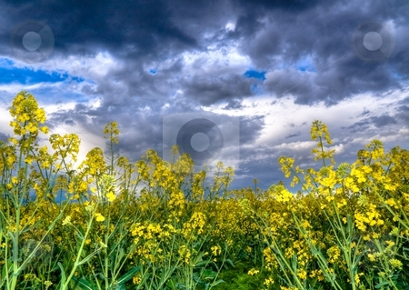 Colza or canola  field stock photo, Colza or canola field under stormy sky at spring hdr processed by Laurent Dambies
