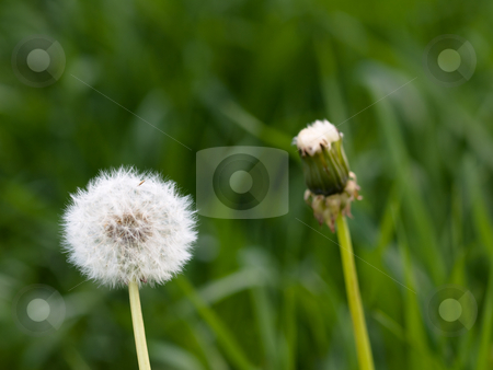Two dandellions  stock photo, Two dandellions at spring with green background by Laurent Dambies