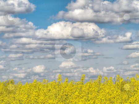 Yellow rape field stock photo, Yellow rape field under cloudy sky hdr processed by Laurent Dambies