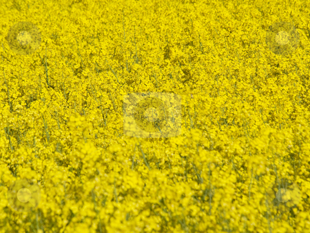 Blooming rapeseed field stock photo, Selective focusing shot of a blooming rapeseed field at spring by Laurent Dambies