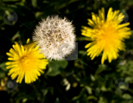 Three dandelions stock photo, Three dandelions at spring by Laurent Dambies