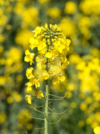 Blooming rapeseed stock photo, Rapeseed close up at spring by Laurent Dambies