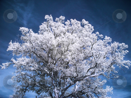 Beautiful white tree stock photo, Infrared picture of a tree under cloudy blue sky by Laurent Dambies