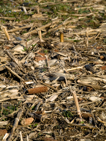 Dry corn ears stock photo, Dry corn ears in a field at winter by Laurent Dambies