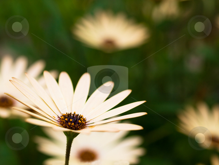 Spring daisies stock photo, White daisies on green with selective focusing by Laurent Dambies