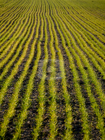 Young wheat field stock photo, Freshly plowed wheat field by Laurent Dambies