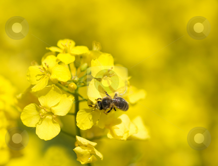 Bee on rapeseed  stock photo, Macro of a bee on a rapeseed plant by Laurent Dambies