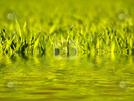 Wheat field stock photo, Early spring wheat at sunset with water reflection by Laurent Dambies