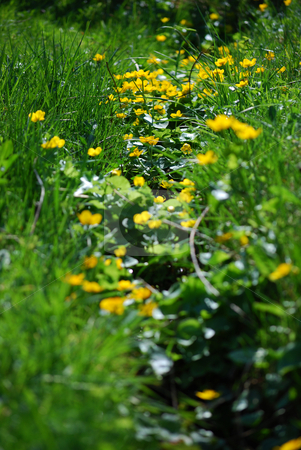 Marsh marigold stock photo, A lot of mash marigolds in grass by Sarka