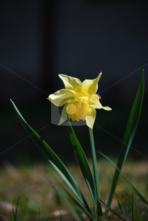 Narcissus stock photo, A picture of a single narcissus by Sarka