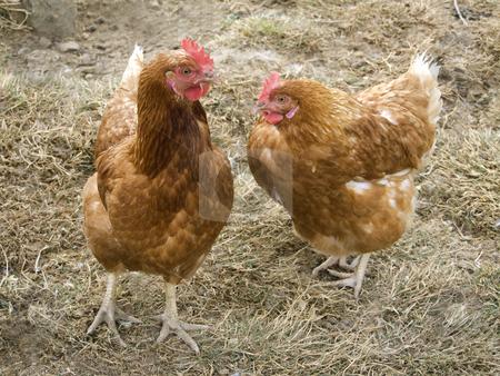 Hens stock photo, Free-range chicken on a farm by Birgit Reitz-Hofmann