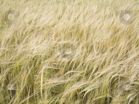 Barleyfield stock photo, Close-up of a barley field - outdoor shot by Birgit Reitz-Hofmann