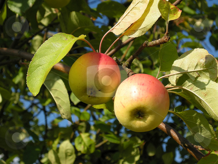 Apples stock photo, Detail from a apple tree. Shot outdoor. by Birgit Reitz-Hofmann