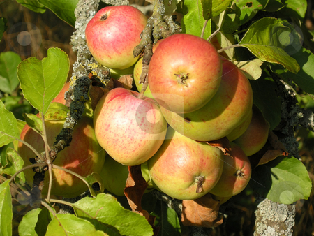 Red apples stock photo, Detail from a apple tree. Shot outdoor. by Birgit Reitz-Hofmann