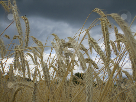 Ryefield stock photo, Close-up of a rye ears under clouded sky by Birgit Reitz-Hofmann
