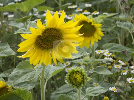 Sunflower stock photo, Sunflower - grown on a field by Birgit Reitz-Hofmann