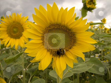 Sunflower stock photo, Sunflower - grown on a field by Birgit Reitz-Hofmann