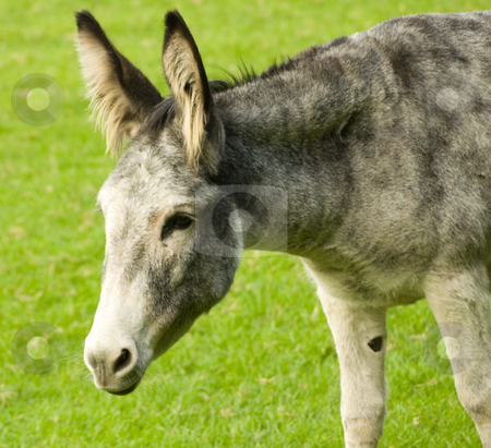 Donkey in green field stock photo,  by MWilkinson Photography