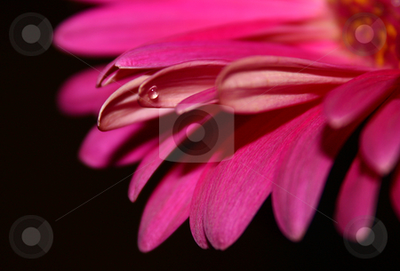 Pink flower with water droplet stock photo,  by MWilkinson Photography