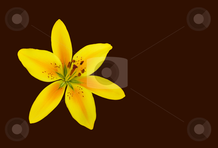 Yellow Lily stock photo, Yellow and orange lily isolated over brown background. by Denis Radovanovic