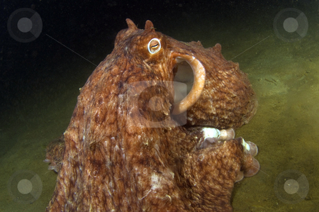 Giant Pacific Octopus stock photo,  by Greg Amptman