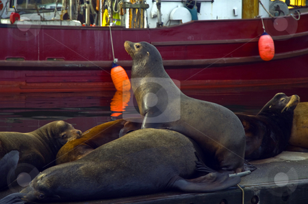 Keeping Watch stock photo, A stellar sea lion keeps a watchful eye out for the herd. by Greg Amptman