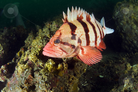 Tiger Rock Fish 1 stock photo,  by Greg Amptman