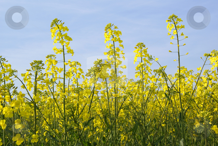 Rape stock photo, Field full of bloomed yellow rape flowers by Jolanta Dabrowska
