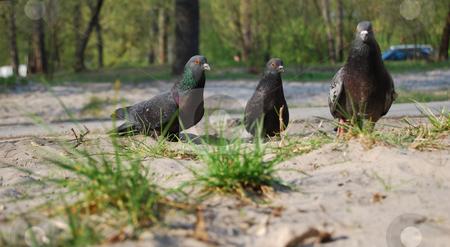 Doves stock photo, Three doves in the green recreation zone by Leyla Akhundova