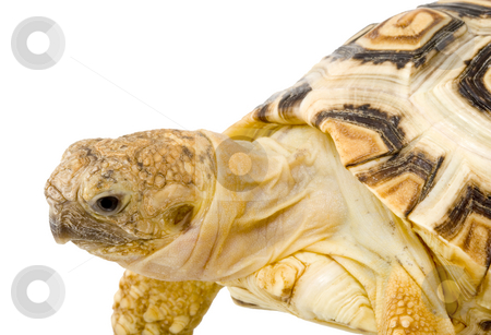 Geochelone Pardalis stock photo, A young tortoise - Geochelone Pardalis (close up on the white background) by Petr Koudelka