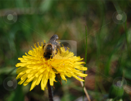 Bee on dandelion stock photo, Bee gathering nectar on dandelion flower by Leyla Akhundova