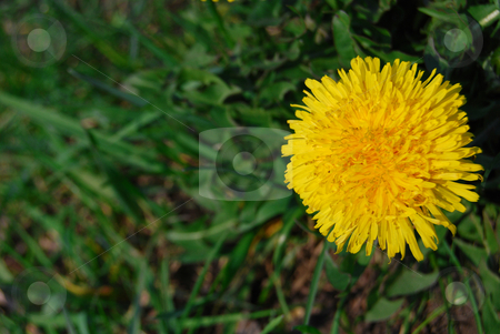 Close-up dandelion stock photo, Yellow flower of dandelion in blossom against grass background by Leyla Akhundova