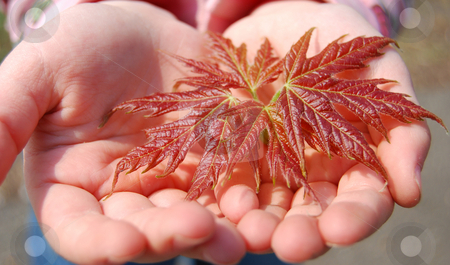 Maple leaf stock photo, New maple leaf in child's hands by Leyla Akhundova