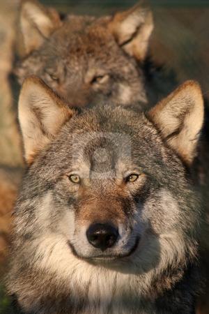 European gray wolf stock photo, Portrait of an european gray wolf by Gea Strucks