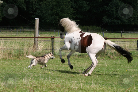Dog and horse playing stock photo, Dog and horse playing and having fun together by Gea Strucks