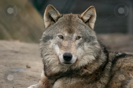 European gray wolf stock photo, Portrait of an european gray wolf by Gea Strucks