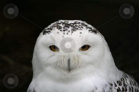 Snowy owl stock photo, Close-up of a snowy owl by Gea Strucks