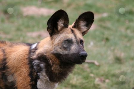 African wilddog stock photo, Close-up of an african wilddog by Gea Strucks