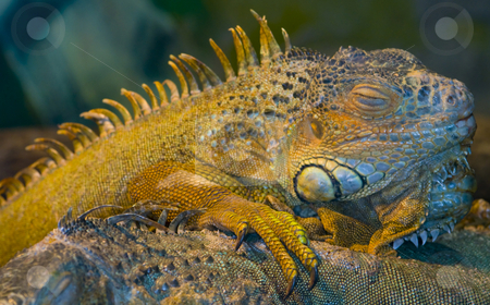 Iguana stock photo, Close up on a sleeping iguana by Kobby Dagan