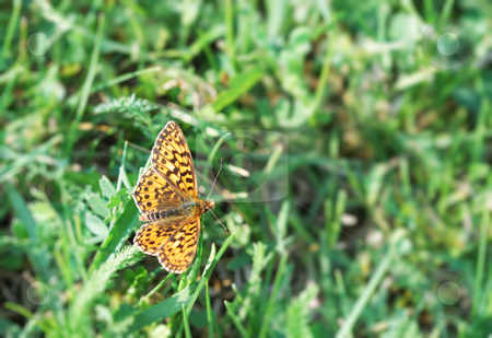 Butterfly stock photo, A rusty dotted butterfly on the grass. by Ivan Paunovic