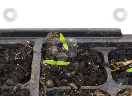 Seedling Start stock photo, Seedling start in planter flat with white background by John Teeter