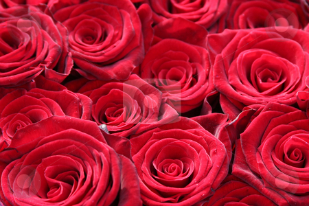 Red roses stock photo, Close up of a bouquet of red roses by Gea Strucks