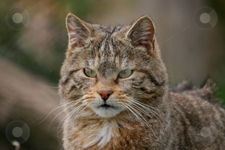 European wildcat stock photo, Portrait of an european wildcat by Gea Strucks